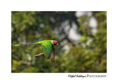 PLUM HEADED PARAKEET (MALE)