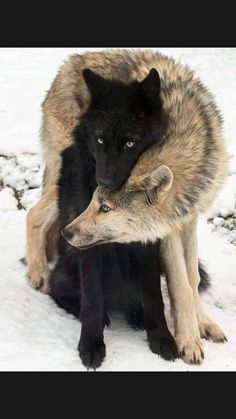 Wolf Photos, Wolf Pictures, Animal Pictures, Cute Funny Animals, Cute Dogs, Animals And Pets, Baby Animals, Animals In Snow, Beautiful Creatures