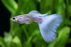 peces guppy - Buscar con Google