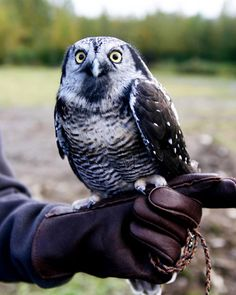 Although owls are known for being nocturnal, the above Northern hawk owl (Surnia ulula) mainly hunts during the day. The owl gets its name from its relatively flat head, long tail and hawk-like flight pattern, according to the Minnesota Department of Natural Resources.
