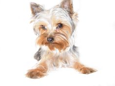 Image result for how to draw a yorkie