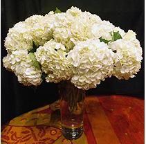 Hydrangeas - White - 30 Stems -- At Sams Flowers