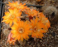 Rebutia einsteinii ssp aureiflora