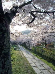 Sakura and trail