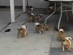 Adorable Bulldog Puppies Chasing After Their Mother