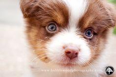 our new Australian shepherd puppy!
