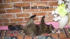 SAS Molly The Kitten DAY 183 Molly Vs wall http://sasmolly.blogspot.co.uk/