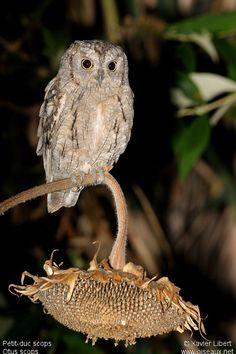 Petit-duc scops ( Otus scops ) Eurasian Scops Owl -