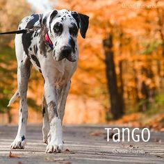 This is Tango the Great Dane, isn't he gorgeous?