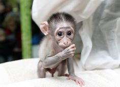 (click image for more photos) This Baby Monkey Is Very Shy... His giant, dewy eyes will shatter your heart into a million pieces. This poor little fella is named Loango, and he was rejected by his mother shortly after birth. Fortunately, he's being hand raised by zookeepers in Paris.
