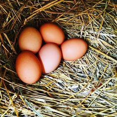 Kädenlämpöisiä munia naapurin kanarouvilta. Mahtava makuelämys! #lähiruoka #lahiruokaa #luomu #kananmuna #ristinummi #järvenpää