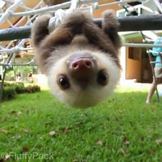 This Baby Sloth Will Remind You To Never Give Up - Cute sloth Baby Animals Pictures, Cute Animal Pictures, Animals And Pets, Funny Sloth Pictures, Baby Zoo Animals, Animals Kissing, Smiling Animals, Baby Cows, Cute Little Animals