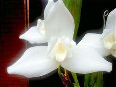 La Monja Blanca es una orquídea, establecida como Flor Nacional de Guatemala oficialmente el 21 de febrero de 1934 durante el gobierno de Jorge Ubico Castañeda. Su nombre científico es Lycaste virginalis forma alba.