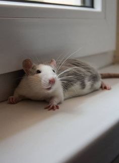 Rat - nice picture