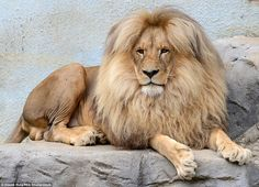 Mane attraction: Leon the congolese lion is the star attraction at Usti nad Labem Zoo in t...
