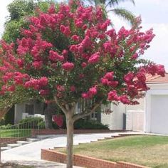 crepe myrtle trees in australia - lagerstroemia indica Front Yard Patio, Trees For Front Yard, Front Yards, Landscaping Trees, Front Yard Landscaping, Crepe Myrtle Landscaping, Plantas Do Texas, Trees And Shrubs, Trees To Plant