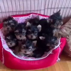 Teacup Yorkie For Adoption, Teacup Poodles For Sale, Toy Yorkie, Yorkies For Sale, Yorkie Puppy For Sale, Tea Cup Yorkie Puppies, Yorkie Poo Haircut, Tiny Puppies For Sale, Corgi Puppies