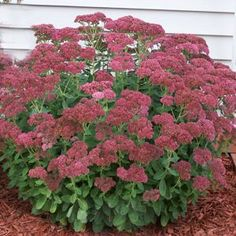 Did you know before your Autumn Joy Sedum blooms, Snip a few stems from each plant and plant the stems back into the rich soil and volia another Autumn Joy Sedum.