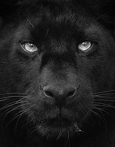 """Black Panther"" can be applied to either leopards or jaguars. What is occurring is a pigment mutation of the fur. As both leopards and Jaguars are normally tawny colored. Beautiful Cats, Animals Beautiful, Simply Beautiful, Chat Lion, Animals And Pets, Cute Animals, Wild Animals, Funny Animals, Gato Grande"