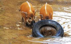 Red River Hogs at Colchester Zoo in Essex enjoy the wet weather  Picture: Colchester Zoo / Rex Features
