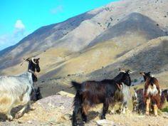 wandelvakantie in Griekenland wandelen in Griekenland Wandelen Griekenland griekse wandelingen op de geitenpaden 2022 Heraklion, Goats, Horses, Animals, Aktiv, Safari, Crete Holiday, Snorkeling, Animales
