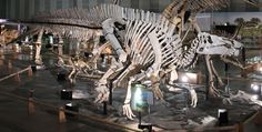 The magnificent Shantungosaurus dinosaurs on display in the entrance hall at the Zhucheng Dinosaur Museum.