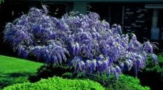 Tree Wisteria    Clusters of grape-colored flowers. A breathtaking sight in spring, this wisteria tree offers cascades of flowers throughout May. And blooms get bigger and thicker each year. Hardy and carefree, wisteria can be used in the landscape as a focal point or flower-filled privacy fence. Flourishes in full sun. Grows 25-30 feet tall.