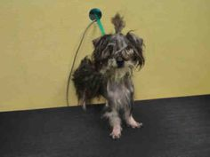 ★1/2/16 STILL THERE★SPARKY - A1061497 - Urgent Brooklyn - MALE GRAY/BLACK SCHNAUZER MIN MIX, 1 Yr - STRAY - HOLD FOR ID Intake 12/26/15 Due Out 01/03/16 - SEVERELY MATTED- DOG NERVOUS