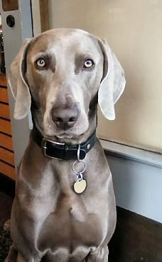 Cute dogs weimaraner....beautiful dog! Cute Pets