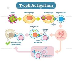T-Cell activation diagram, vector scheme illustration. T-cell or T lymphocyte is a type of lymphocyte (a subtype of white blood cell) that plays a central role in cell-mediated immunity. Biology Facts, Biology Lessons, Cell Biology, Science Biology, Medical Laboratory Science, Nursing School Notes, Science Notes, Human Anatomy And Physiology, Medical Anatomy