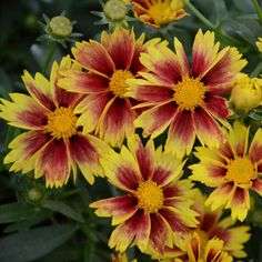 "Li'l Bang 'Enchanted Eve' Coreopsis - Size: 3.5"" Pot"