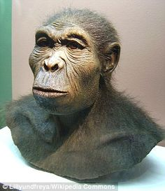 A reconstruction of Homo habilis at the Westfälisches Museum für Archäologie, Herne. It is thought that Acheulean technologies first developed in Africa out of the more primitive Oldowan technology as long ago as million years ago, by Homo habilis. Homo Habilis, Early Humans, First Humans, Human Fossils, Prehistoric Man, Pseudo Science, Anthropologie, Human Evolution, Before Us