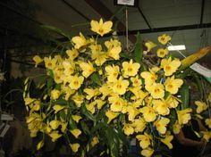 orquideas amarillas cuidados , Buscar con Google