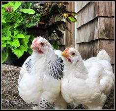 Light Sussex cockerel (left) Light Sussex pullet (rt)  via The Chicken Chick