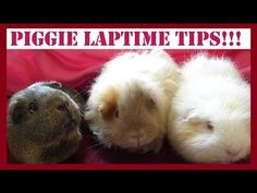 Guinea Pig Laptime: Useful Tips on Taming and Bonding With Your Piggies! - YouTube