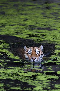Asia, Swimming tiger by Henrik Vind