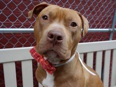 SAFE❤️❤️ 6/7/16 Manhattan Center BEACKER – A1069549 **SAFER: AVERAGE HOME**RETURNED FROM ACC FOSTER** MALE, BROWN / WHITE, PIT BULL MIX, 1 yr STRAY – STRAY WAIT, NO HOLD Reason STRAY Intake condition UNSPECIFIE Intake Date 04/06/2016, From NY 11432, DueOut Date04/09/2016