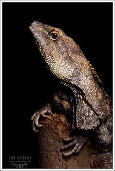 Chlamydosaurus kingii .. Frilled-necked Lizard!
