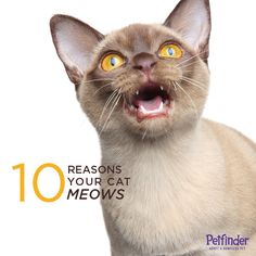 Your cat is talking, but do you know what she's saying? Click through to learn 10 reasons your cat might be meowing at you.