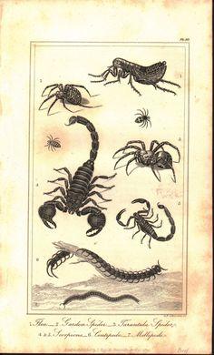 Flea Garden Spider Tarantual Scorpions Millipede 1821 Antique Engraved Print
