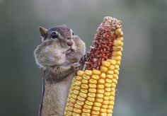 An eastern chipmunk in Ontario, Canada stuffing its cheeks with corn. Photo by Barb d'Arpino/The Comedy Wildlife Photography Awards.