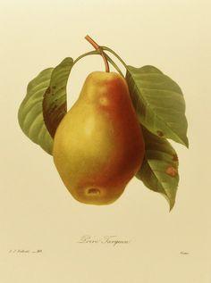 European Pear Redoute Flower Print, Vintage Botanical Illustration