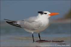 royal+tern | Royal Tern ( Sterna maxima )