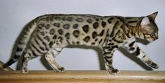 Latest Free gray Bengal Cats Tips Very first, let's talk about precisely what is a Bengal cat. Bengal cats and kittens undoubtedly are a pedigre. Ocicat, Exotic Cat Breeds, Exotic Cats, Cute Cat Breeds, Gatos British, Domestic Cat Breeds, Asian Leopard Cat, Cheetah, Spotted Cat