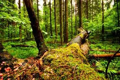Fallen tree at Limberg reserved forest.