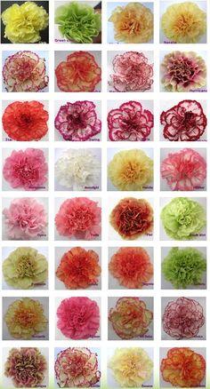 Carnation Color Guide
