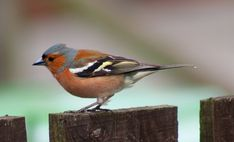 male chaffinch | Description Male Chaffinch.jpg