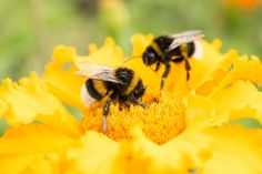 Researchers have figured out which plant species bumble bees prefer to include in their diets, providing advice to those wishing to help with bee conservation efforts. Best Flowers For Bees, Amazing Flowers, Insect Species, Plant Species, Bee Activities, Bee On Flower, Weed Killer, Different Plants, Save The Bees