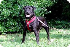 TRUE...nashville, TN - Labrador Retriever/American Bulldog Mix. Meet True, a dog for adoption. http://www.adoptapet.com/pet/11182720-nashville-tennessee-labrador-retriever-mix