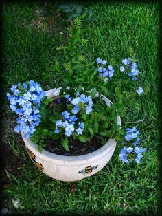 https://flic.kr/p/f45Do | Plumbago Plant #1 | This one of the two Complete Plumbago Plants that you've seen  close ups  Scientific name: Plumbago auriculata Pronunciation: plum-BAY-go ah-rick-yoo-LAY-tuh Common name(s): Plumbago, Cape Plumbago, Sky Flower, Cape leadwort Family: Plumbaginaceae Plant type: shrub Origin: South-Africa